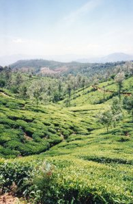 Typical Tea Estate landscape in Hill Country