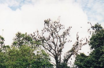Fruit bat roost