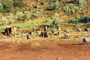 Guinea Fowl in Campsite