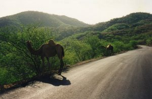 Camels by the road