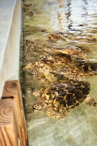 Brother King's Turtles